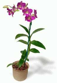 dendrobium - orquideas