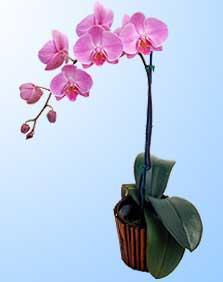 phalaenopsis - orquideas