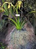 orquideas semiterrestre