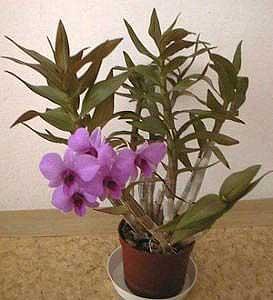 Dendrobium - Fotos de plantas de interior ...