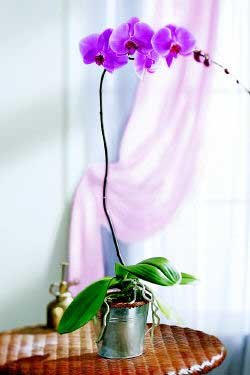 Phalaenopsis - Imagenes de plantas de interior ...