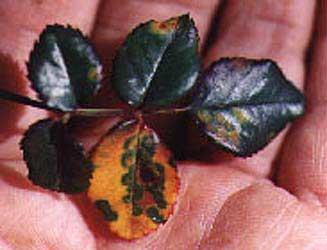 El hongo sobre las uñas de la causa de la aparición y el tratamiento