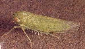 Infojardin mosquito verde for Infos jardin