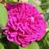 Gallica (Lista de variedades en Octubre 2005)