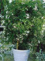 abono abonado o fertilizantes plantas trepadoras o